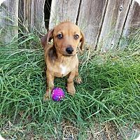 Adopt A Pet :: Charlie - Rancho Cucamonga, CA