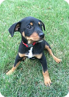 Doberman Pinscher/Labrador Retriever Mix Puppy for adoption in Chicago, Illinois - Max