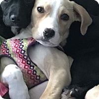 Adopt A Pet :: Claire - Millersville, MD