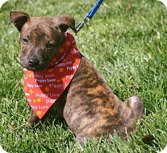 Pit Bull Terrier Mix Puppy for adoption in Durham, North Carolina - Baxter