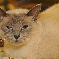Adopt A Pet :: Luna - Garland, TX