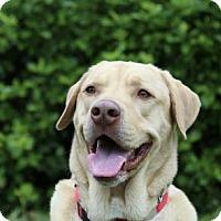 Adopt A Pet :: Groot - Warrington, PA