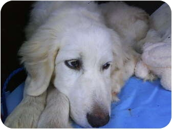 Great Pyrenees/Labrador Retriever Mix Dog for adoption in Wayne, New Jersey - Snowball