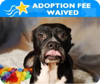 American Bulldog Mix Dog for adoption in Miami, Florida - Rocco