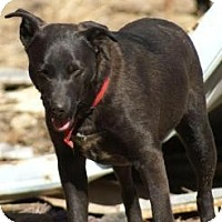 Labrador Retriever Mix Dog for adoption in Oakland, Arkansas - Shep