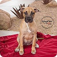 Adopt A Pet :: Remi - Mesa, AZ
