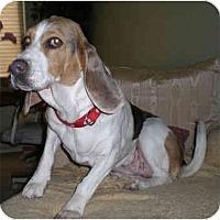 Adopt A Pet :: Kibbles - Phoenix, AZ