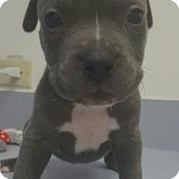 Adopt A Pet :: Cogsworth - Scottsdale, AZ