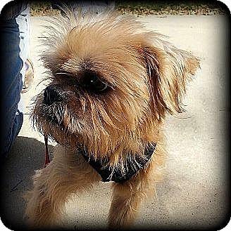Brussels Griffon Dog for adoption in Seymour, Missouri - TRACKER in Durango, CO.