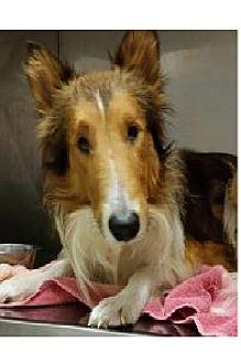 Collie Dog for adoption in COLUMBUS, Ohio - Sonny