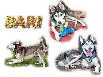 Siberian Husky Dog for adoption in Seminole, Florida - Bari