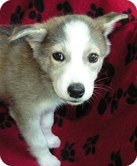 Husky/Border Collie Mix Puppy for adoption in Normandy, Tennessee - Hayden