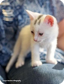Domestic Shorthair Kitten for adoption in Knoxville, Tennessee - Winchester