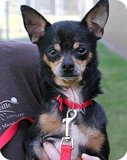 Miniature Pinscher/Chihuahua Mix Dog for adoption in Overland Park, Kansas - Nash