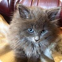 Adopt A Pet :: Kitchi - Hamilton, ON