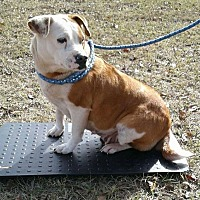 Bulldog Mix Dog for adoption in Ozone Park, New York - Lucy lou