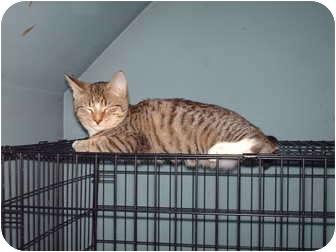 Domestic Shorthair Kitten for adoption in Hampton, Connecticut - Munchkin