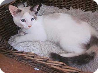 Siamese Kitten for adoption in Davis, California - Alexi