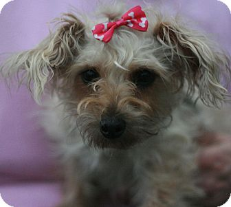 Yorkie, Yorkshire Terrier/Poodle (Miniature) Mix Dog for adoption in Canoga Park, California - Ginger -Yorkiepoo!