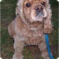 Adopt A Pet :: Tootsie - Tacoma, WA