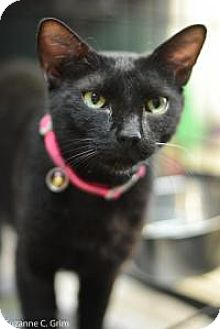 American Shorthair Cat for adoption in New Orleans, Louisiana - Giselle