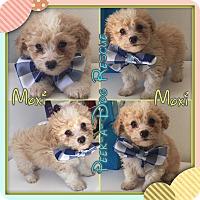 Adopt A Pet :: Moxi - South Gate, CA