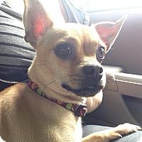 Adopt A Pet :: Princess - Sinking Spring, PA