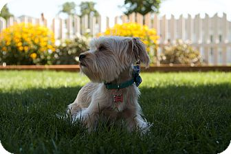 Maltese/Yorkie, Yorkshire Terrier Mix Dog for adoption in Pasco, Washington - Bella