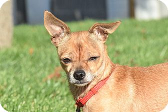 Chihuahua Mix Dog for adoption in Meridian, Idaho - Ronnie