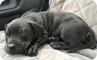 Labrador Retriever/Pit Bull Terrier Mix Puppy for adoption in Cincinnati, Ohio - Oliver
