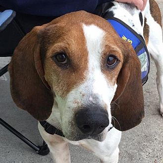 Foxhound Dog for adoption in Fairfax, Virginia - Shirley *Adopt or Foster*