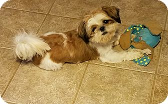 Shih Tzu Dog for adoption in San Antonio, Texas - Tyler