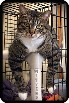 Domestic Shorthair Cat for adoption in Hartford City, Indiana - Mittens