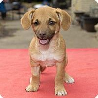 Adopt A Pet :: Roscoe-sweet dumpling-N - Santa Fe, TX