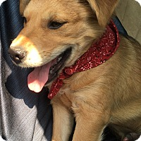 Adopt A Pet :: MINI  LION - Spring, TX