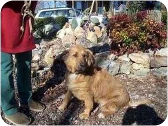 Bloodhound Mix Dog for adoption in Oakland, Arkansas - Carmel