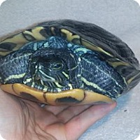 Turtle - Other for adoption in Pefferlaw, Ontario - Tofu