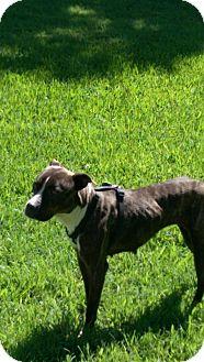 Boxer/Shepherd (Unknown Type) Mix Dog for adoption in White Settlement, Texas - Prissy