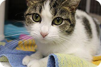 Domestic Shorthair Cat for adoption in Medina, Ohio - Spotsy