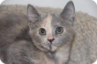 Domestic Shorthair Kitten for adoption in Greensboro, North Carolina - Sassy