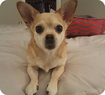 Chihuahua Dog for adoption in west berlin, New Jersey - Linda