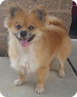 Pomeranian Dog for adoption in Bridgeton, Missouri - Sal-Adoption pending