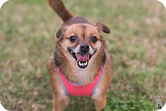 Pekingese/Chihuahua Mix Dog for adoption in Santa Fe, Texas - Dixie C