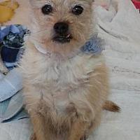 Adopt A Pet :: Scruffy Scot - Encino, CA