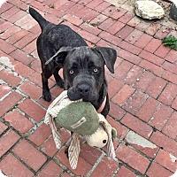 Adopt A Pet :: Bella - Foster Needed! - Torrance, CA