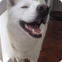 Siberian Husky/Siberian Husky Mix Dog for adoption in valley center, California - Kodiak