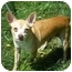 Photo 1 - Chihuahua Dog for adoption in Milwaukee, Wisconsin - Brownie