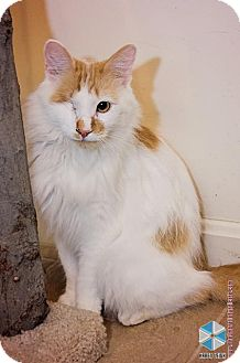 Domestic Mediumhair Cat for adoption in Columbia, Maryland - Jonesy