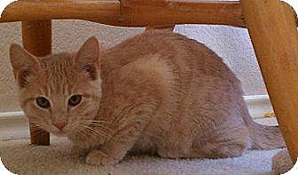 Domestic Shorthair Kitten for adoption in Austin, Texas - Diego II
