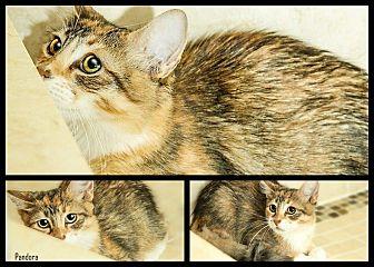 Maine Coon Kitten for adoption in Sunny Isles Beach, Florida - Pandora